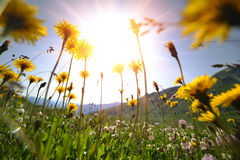 Dandelion flowers on a meadow, selective focus with wide angle l Stock Photography