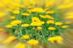 Dandelion flowers in meadow - springtime Royalty Free Stock Image