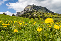 Dandelion flowers on mountain spring meadow and peak Big Rozsute Royalty Free Stock Photos