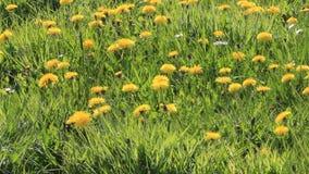 Dandelion flowers in the nature. Löwenzahn stock video footage
