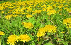Dandelion flowers. Photography of dandelion flowers field stock images