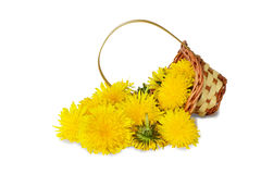 Dandelion flowers. Picked for tea, in a basket, isolated on white background royalty free stock images
