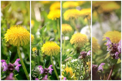 Dandelion flowers and purple flowers in meadow Royalty Free Stock Images