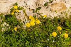 Dandelion flowers on rock background Stock Image