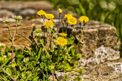 Dandelion flowers on rock background Stock Photo