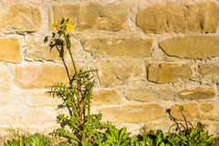 Dandelion flowers on rock background Royalty Free Stock Photography