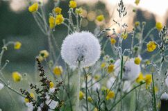 Dandelion flowers with seed heads Stock Photography