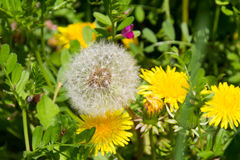 Dandelion flowers and seeds Royalty Free Stock Image
