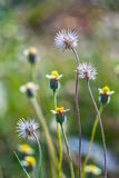 Dandelion flowers shimmering in the sun soon Royalty Free Stock Photo