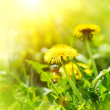 Dandelion flowers on spring field Stock Photos