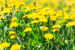 Dandelion flowers in spring Royalty Free Stock Photography