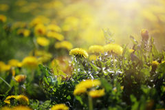 Dandelion flowers in spring Royalty Free Stock Images