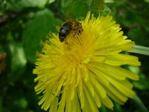 Dandelion. Flowers in the spring and a very good honey plant for bees Royalty Free Stock Photography