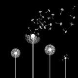 Dandelion flowers. Stock illustration. Stock Images