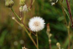 Dandelion flowers in summer sunset light. royalty free stock photos