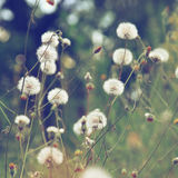 Dandelion flowers. In summer time royalty free stock photos
