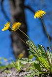 Dandelion Flowers Royalty Free Stock Photo