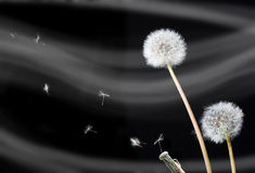 Dandelion flowers (Taraxacum officinale) Stock Image