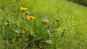 Dandelion flowers timelapse. Dandelion flowers blossoming timelapse at meadow stock video
