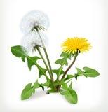 Dandelion flowers, vector icon Stock Images