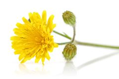 Dandelion flowers on white background. Dandelion flowers isolated on white background royalty free stock photo