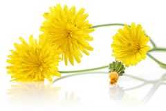 Dandelion flowers on white background. Dandelion flowers isolated on white background royalty free stock images