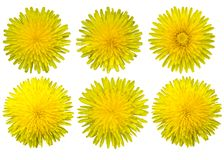 Dandelion flowers on a white background. Isolates. Yellow wildflowers. View from above stock illustration
