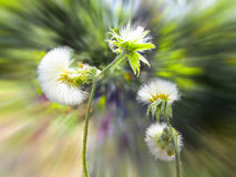 Dandelion flowers in wind Stock Photography