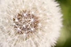 Dandelion Fluff Stock Images