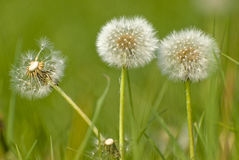 Dandelion Fluff Stock Photography