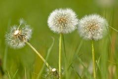 Dandelion Fluff stock photography
