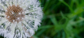 Dandelion fluff. Close-up of a dandelionrn filled with seeds with blurry grass background designed for text placement Stock Images