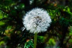 Dandelion fluff Obraz Royalty Free