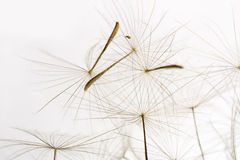 Dandelion fluff. Extreme close up Stock Image