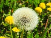 Dandelion fluff Zdjęcie Stock