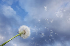 Dandelion fluff blown from wind Stock Photos