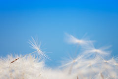 Dandelion fluff on a blue Stock Photo