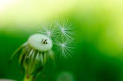 Dandelion fluff on a blurred  background. Stock Images