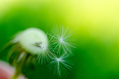 Dandelion fluff on a blurred  background. Stock Photography