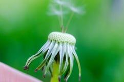 Dandelion fluff on a blurred  background. Stock Image