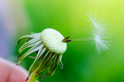 Dandelion fluff on a blurred  background. Royalty Free Stock Images