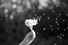 Dandelion fluff, bw zdjęcie royalty free