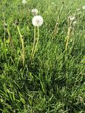 Dandelion with fluff. A dandelion with all of it's fluff still waving in the breeze Royalty Free Stock Photo