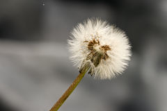 Dandelion Fluff Royalty Free Stock Image