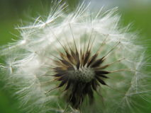 Dandelion fluff Royalty Free Stock Photography