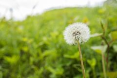 Dandelion fluff in green. Dandelion fluff in front of bright green grassy place Royalty Free Stock Image