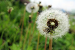 Dandelion fluff that grows in the field Stock Photography