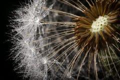 Dandelion fluff i swój ziarna Obraz Royalty Free