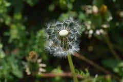 Dandelion fluff. Japanese spring tradition `dandelion fluff Royalty Free Stock Photography