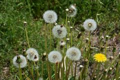 Dandelion fluff. Japanese spring tradition `dandelion fluff Stock Photography